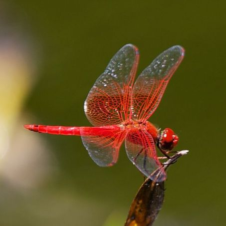 Red-veined dropwing (Trithemis arteriosa)